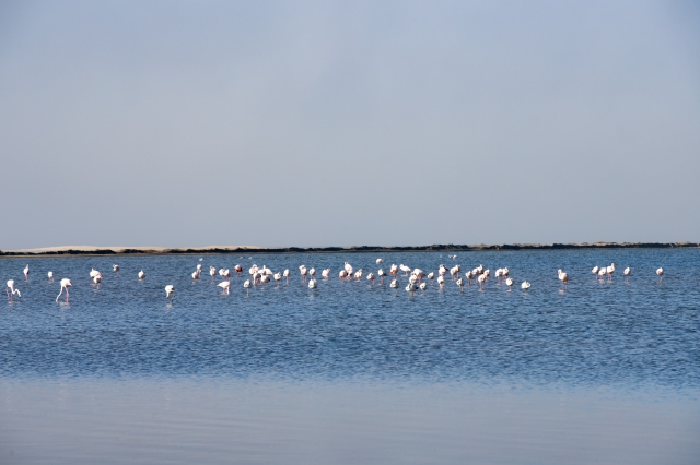 Flamingo's feeding