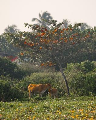Indo Animals-4