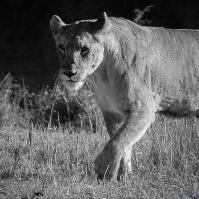 bandw lioness