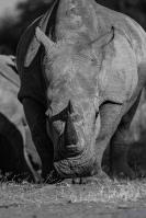 bandw rhino